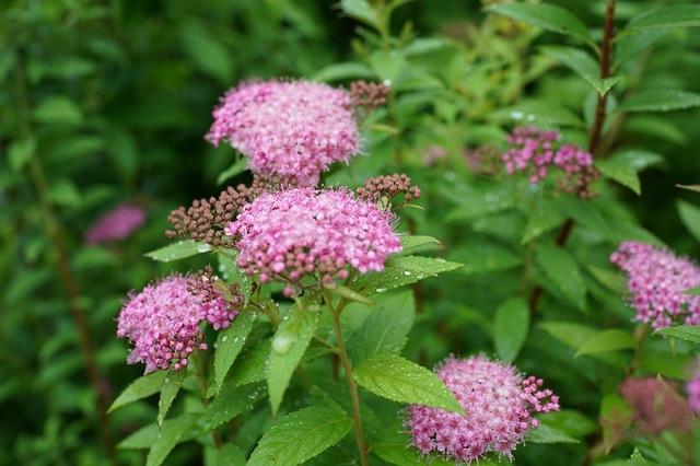 梅雨時期の花 和の趣きシモツケ