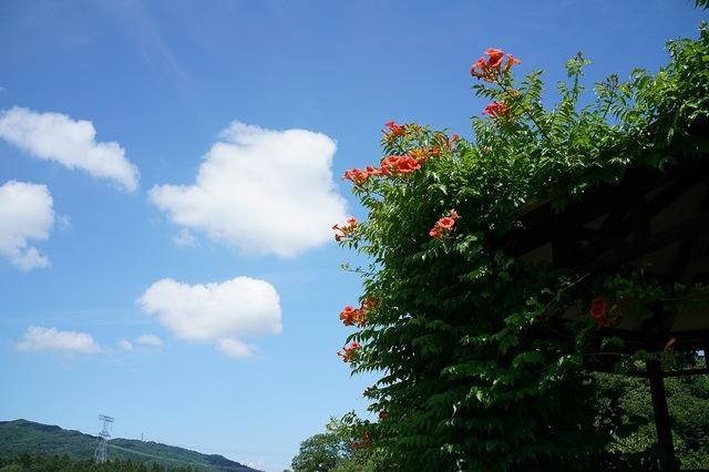 ノウゼンカズラと初夏の空