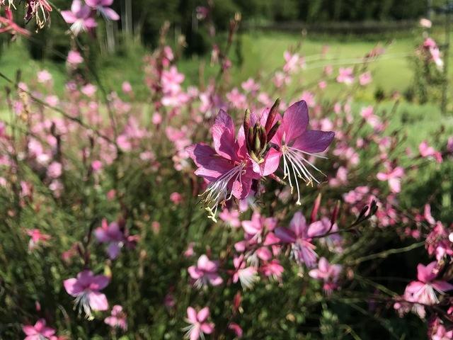 残暑に咲く ガウラ・リリポップピンク