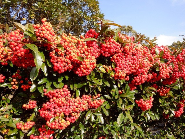 ピラカンサの実と秋の空