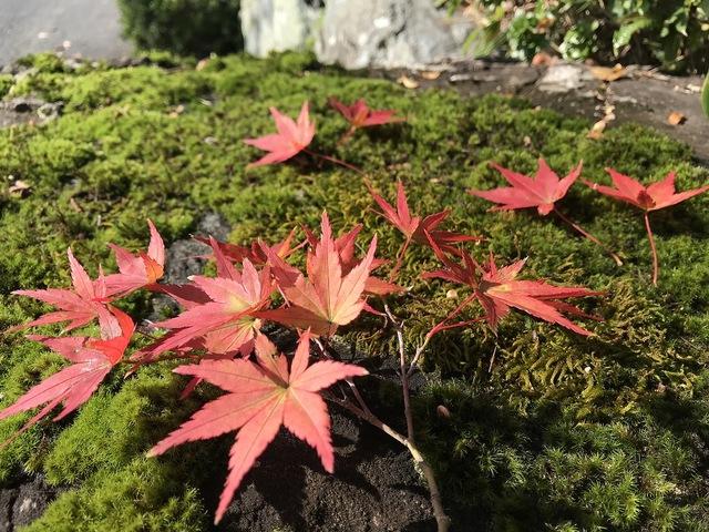 多度の紅葉始まる