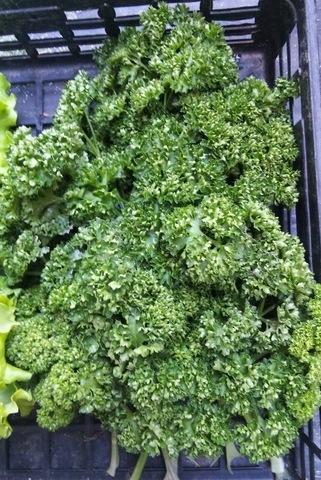野菜の収穫方法♪ 〜パセリ編〜