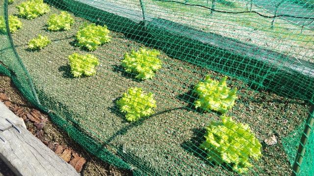 野菜の収穫方法♪ 〜サニーレタス編〜