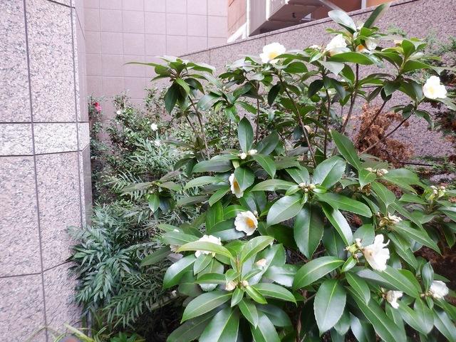 栄に咲く、ゴードニア・ラシアンサス(台湾ツバキ)