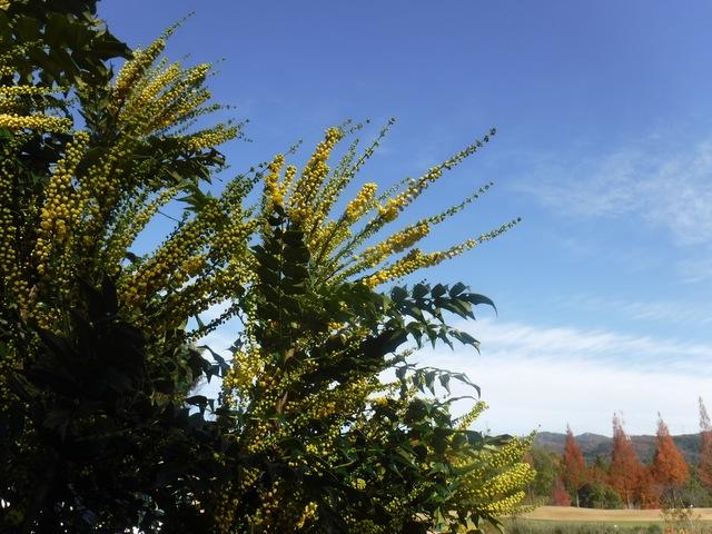 冬の陽光を受ける ヒイラギナンテン