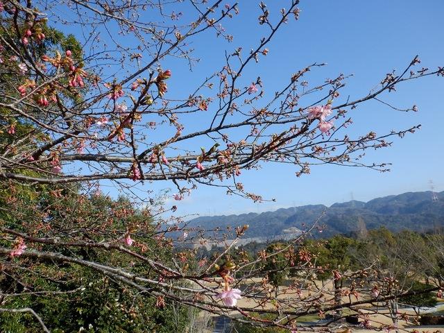 開花間近の河津桜