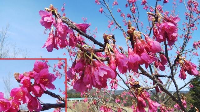 寒緋桜 (カンヒザクラ)