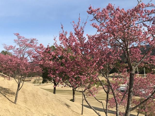 寒緋の桜  〜早咲き系の桜〜