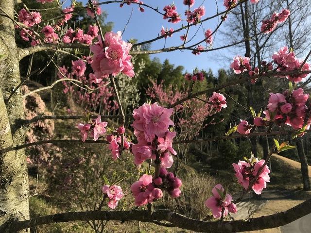 東建多度に春を告げる花 〜 ハナモモ 〜