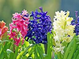 4月11日の誕生花