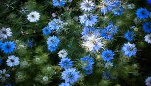 5月29日の誕生花