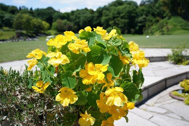 初夏の金蓮花(キンレンカ)
