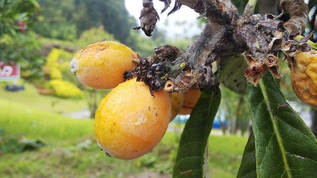 ビワの実 収穫の時期が来ました♪