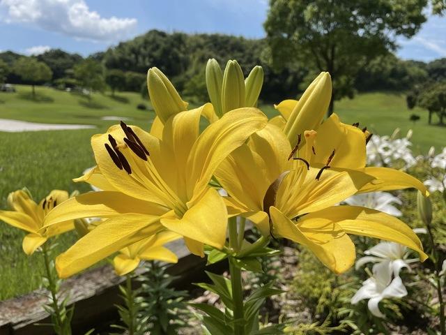 梅雨の晴れ間と百合の花