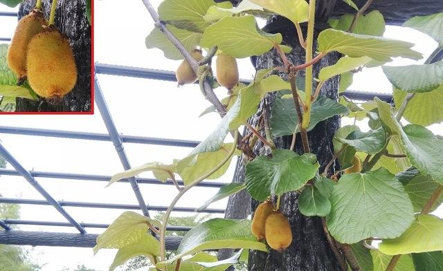 キウイフルーツの実が実りました♪
