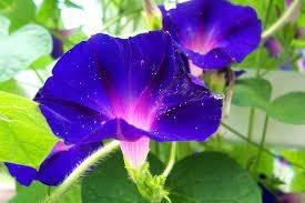 8月1日の誕生花