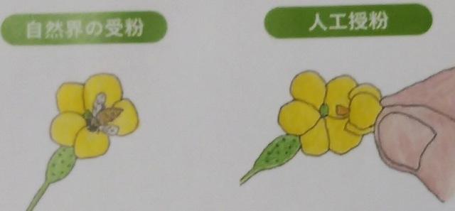 野菜の豆知識♪ 〜人工授粉の方法編〜
