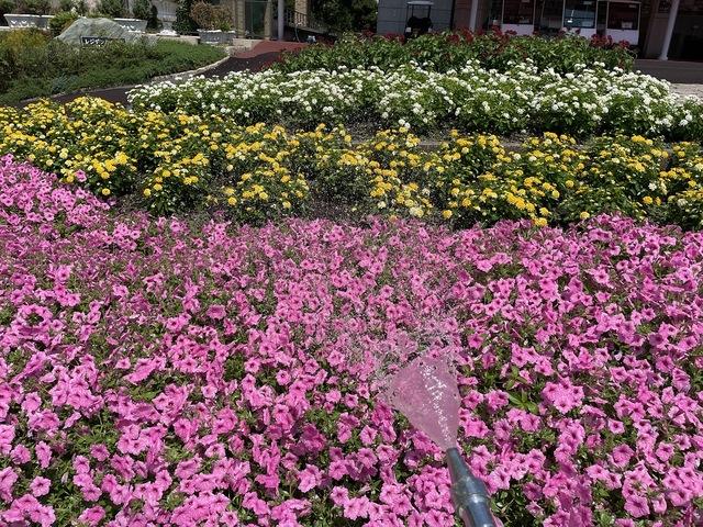 一年草花壇への散水・液肥