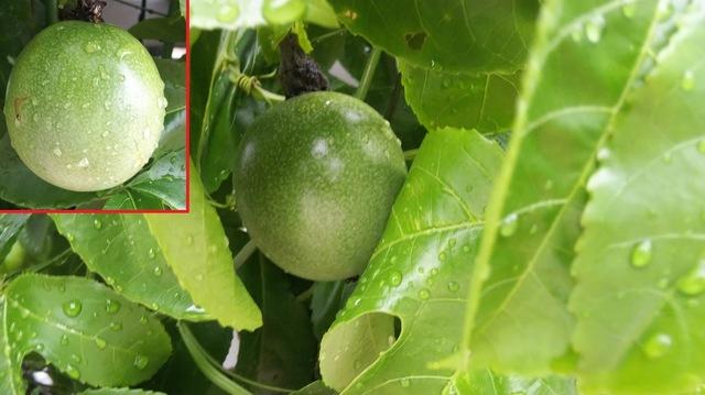 パッションフルーツの実 成長中♪