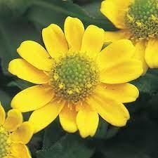 10月10日の誕生花