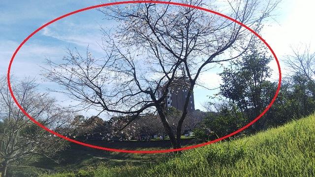 ジュウガツザクラ (十月桜)